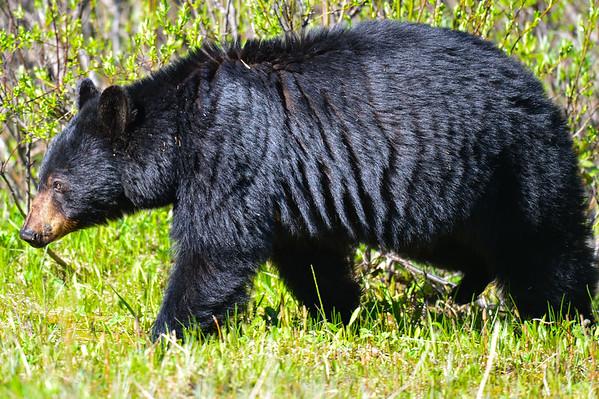 6 2012 June 21 Black Bear & Cub