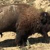Bison crossing road