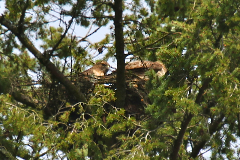 Sorry about the blurry photo.  Things were happening so fast up there and I had my 400 lens extended to the max. This is the first time I got both on the nest together  April 2,2012 Changing of the Guard at the Nest