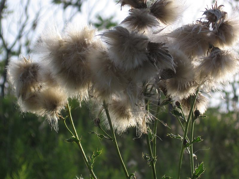 "Thistle down (Submitted to Lensday for ""Furry"")"
