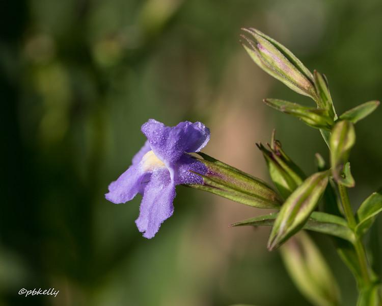 7-27-16.  Dewy Monkeyflower.