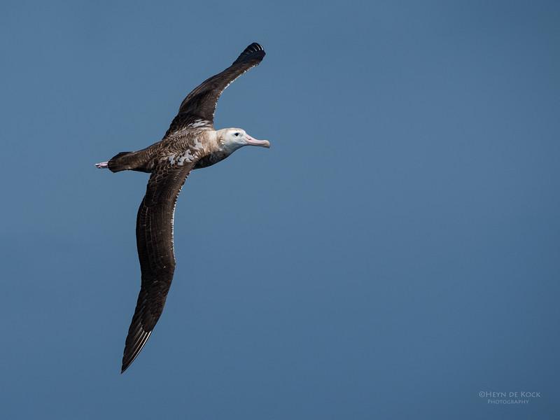 Wandering Albatross, Wollongong Pelagic, NSW, Aus, Oct 2014-3.jpg