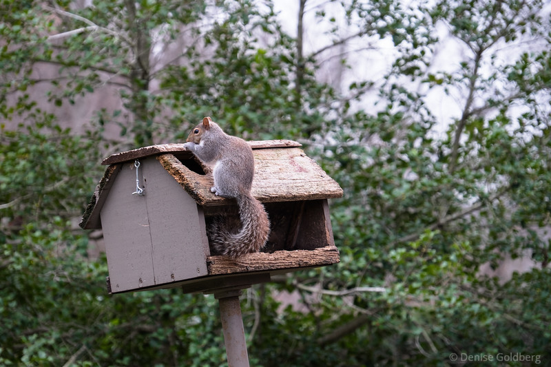 squirrel raiding a bird house