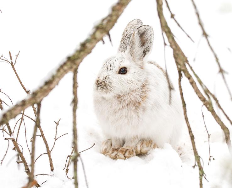 Snowshoe Hare Warren Nelson Memorial Bog Sax-Zim Bog MN IMG_0836.jpg