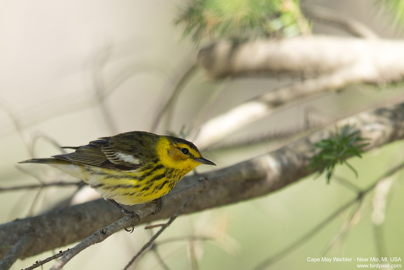 Cape May Warbler - Near Mio, MI, USA
