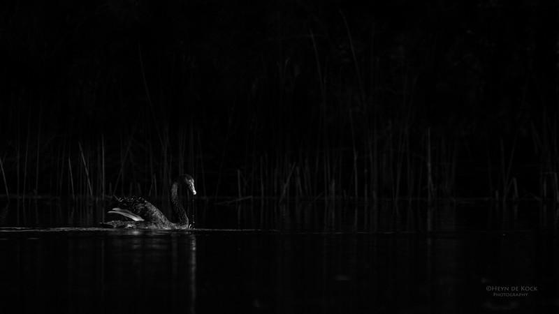 Black Swan, Gold Coast, Sept 2011.jpg