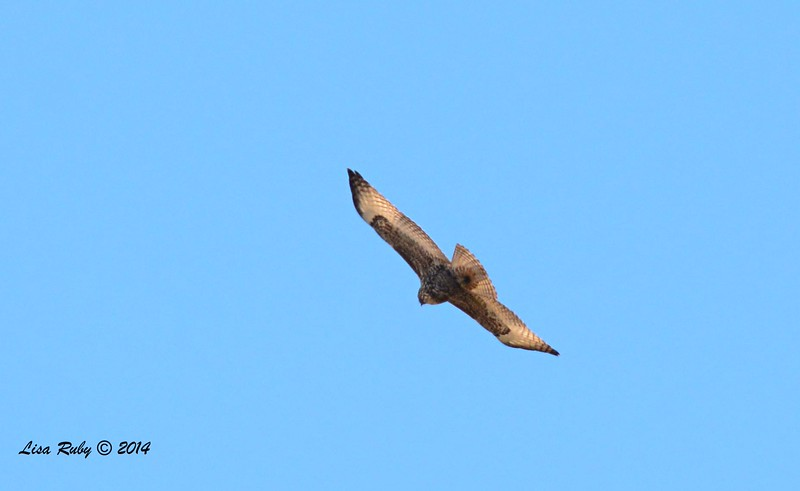 Red-tailed Hawk - 12/29/2014 - San Diego River near Sea World