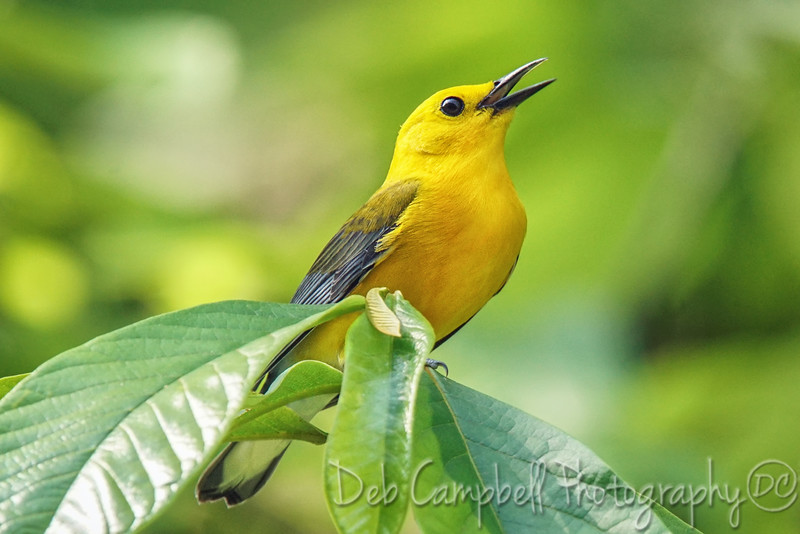 Prothonatary Warbler (male)