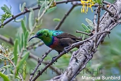 Mariqua Sunbird, Kenya