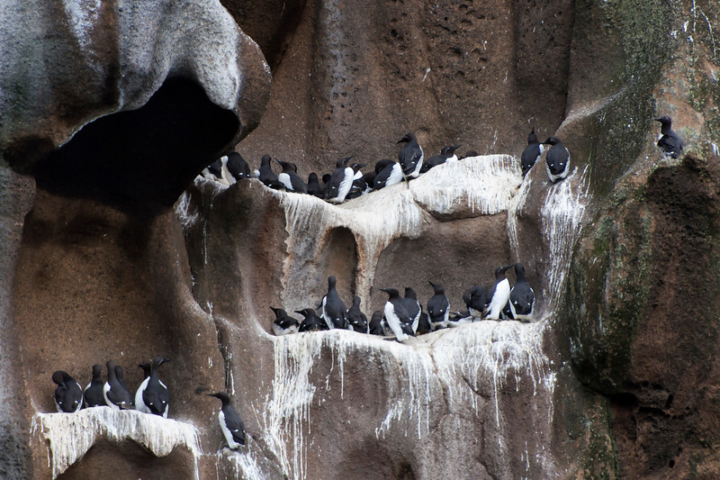 Common Guillemot (also known as Common Murre) - Westman Islands, Iceland