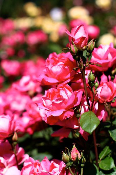 Portland International Rose Test Garden  2207.jpg