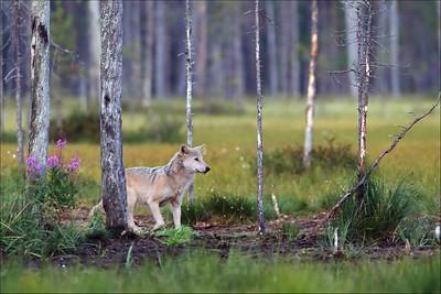 Ulv / Wolf