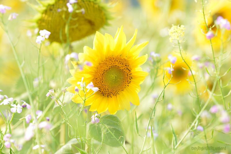 Sunflower Lonay_20092020 (23).JPG