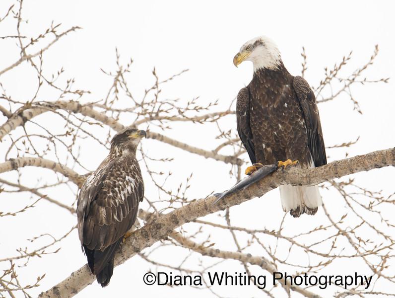 Bald Eagle 7 copy.jpg