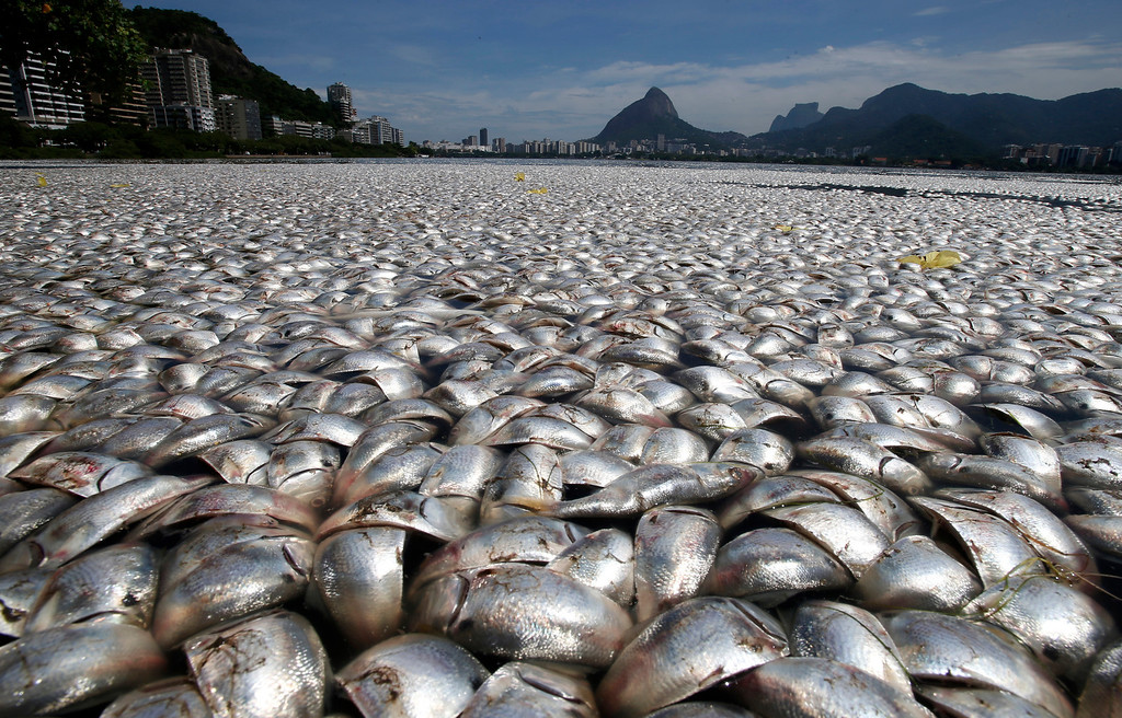 . Dead fish are seen at the Rodrigo de Freitas lagoon in Rio de Janeiro, March 13, 2013. Thousands of fish have been removed from the lagoon after oxygen levels dropped due to pollution, according to local media. Rodrigo de Freitas lagoon will host the rowing competitions in the 2016 Olympic Games. REUTERS/Sergio Moraes