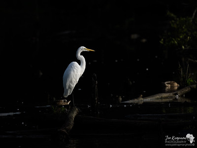 Great Egret in the Shadows