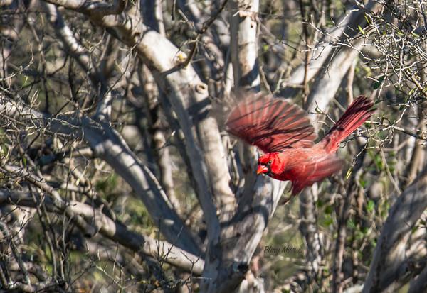 Cardinal IF LL_DWL4170.jpg