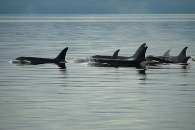 Pod of Orcas Traveling June 2011, Cynthia Meyer, Clarence Strait, Alaska