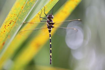 Dragonflies & Damselflies (Odonata)