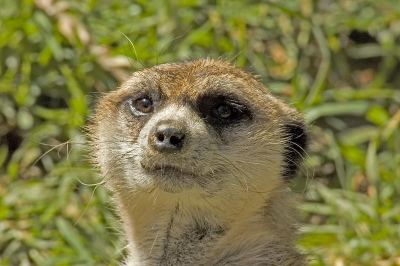 Meerkats-5.jpg
