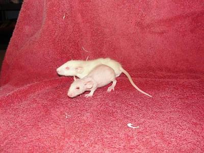 Rattie Surrender to Rescue Liz
