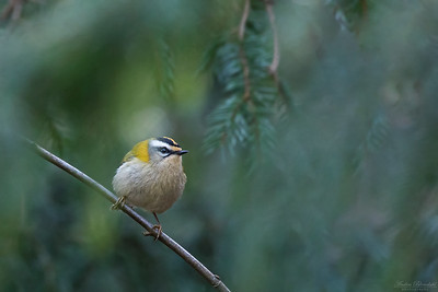 Goldcrests / Kungsfåglar