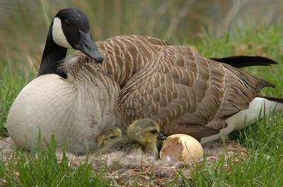 Nesting Goose 2007