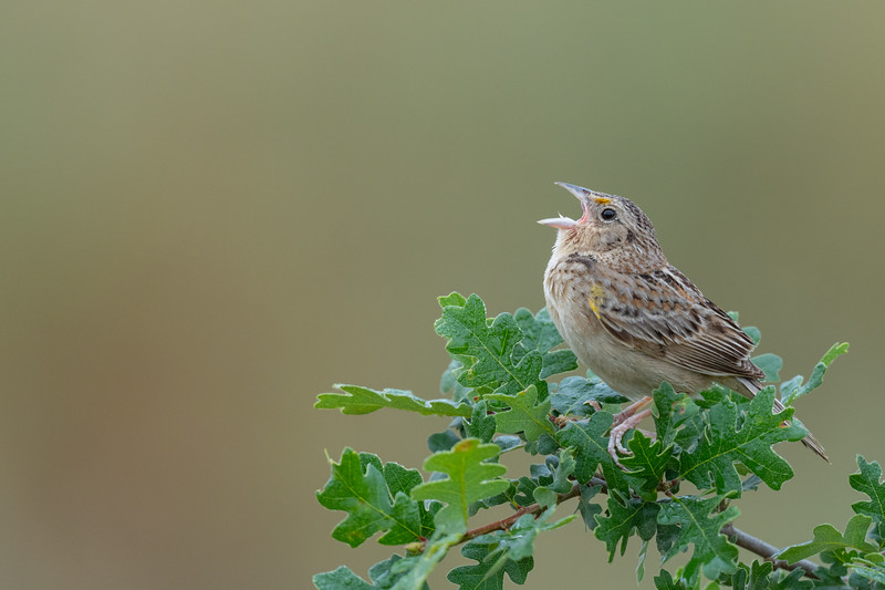 Grasshopper Sparrow - San Jose, CA, USA
