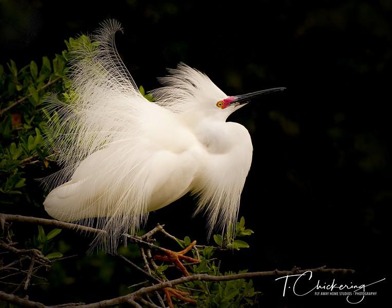 Snowy Egret Breeding Display-1505772422506.jpg