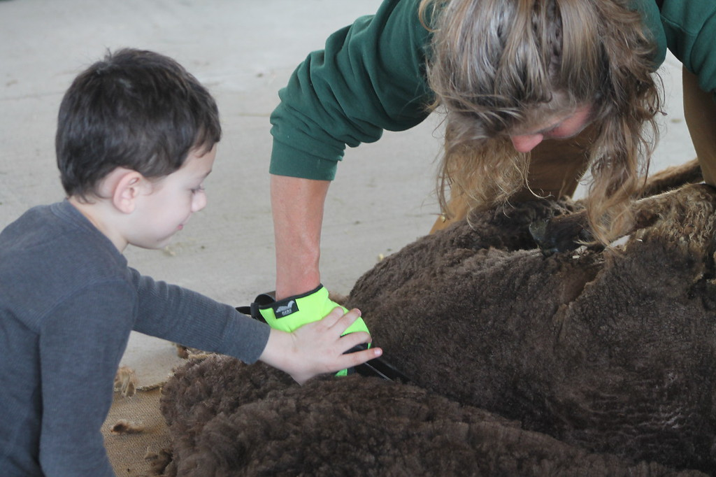 . Logan Garrett, 6, Huntsburg,  guided by Farmpark interpreter  and shepherdess tries his hand as sheep shearing with a pair of blades during the Farmpark\'s sheep shearing weekend on May 13. Kristi Garabrandt - The News-Herald