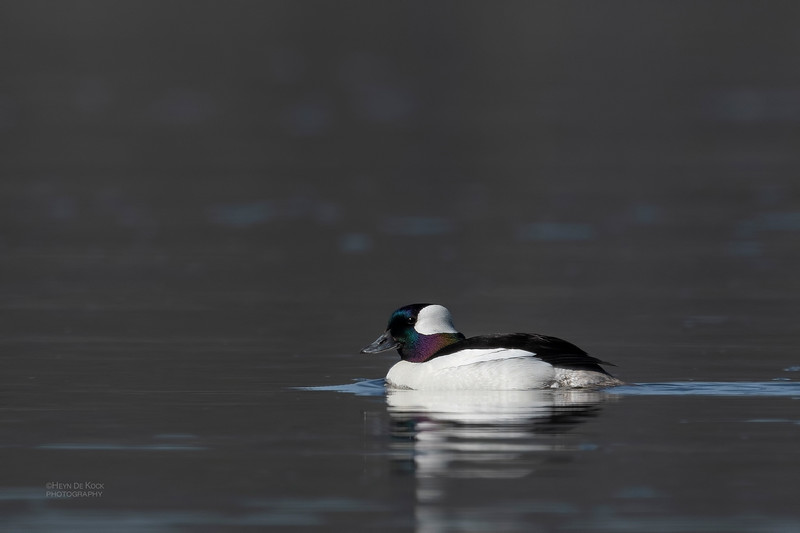 Bufflehead, Yellowstone NP, WY, USA May 2018-1.jpg