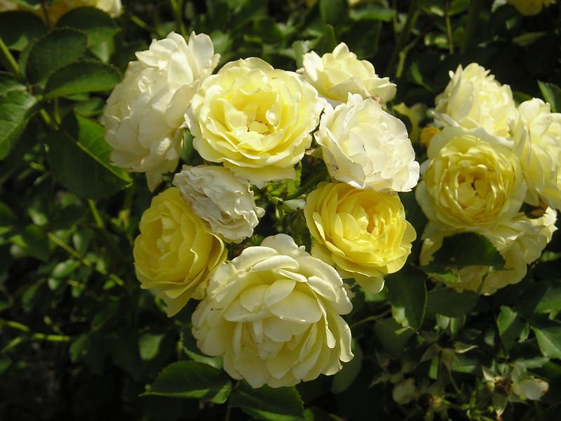 can-rose-yellow.jpg