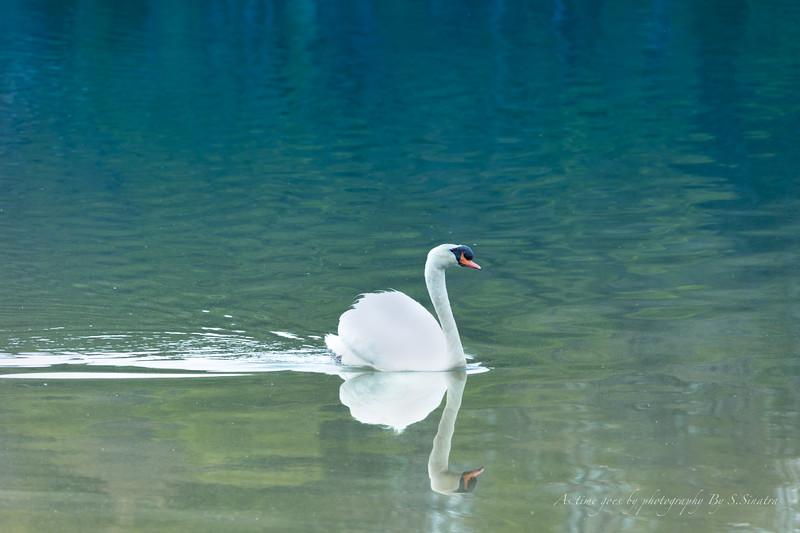 mute swan signed-39.JPG