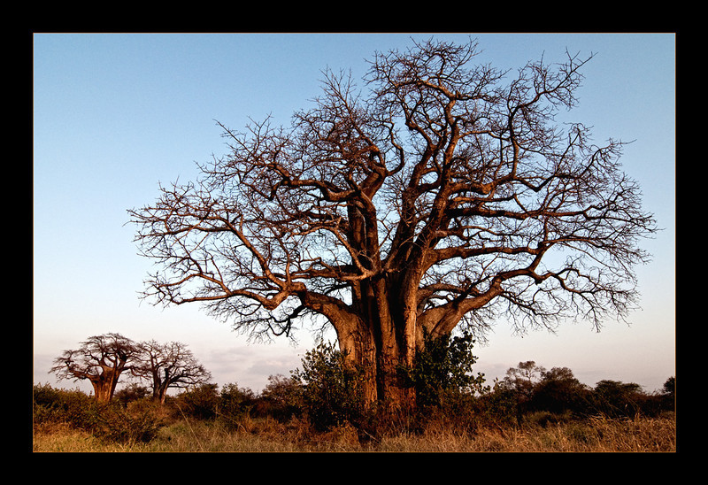 Baobabs at Sunset.jpg