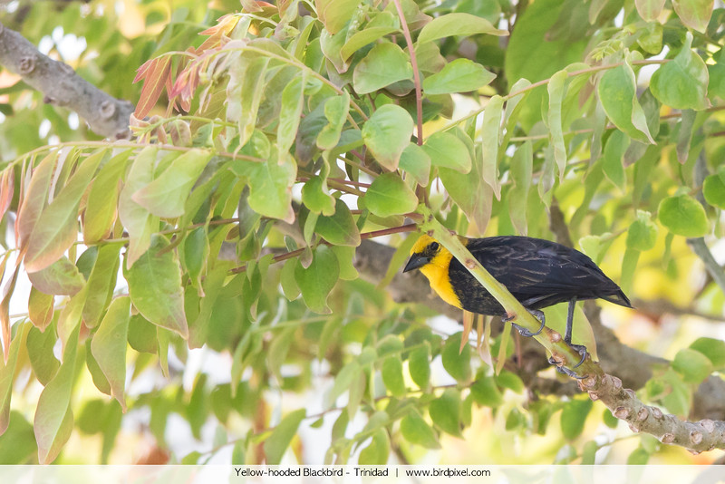 Yellow-hooded Blackbird - Trinidad
