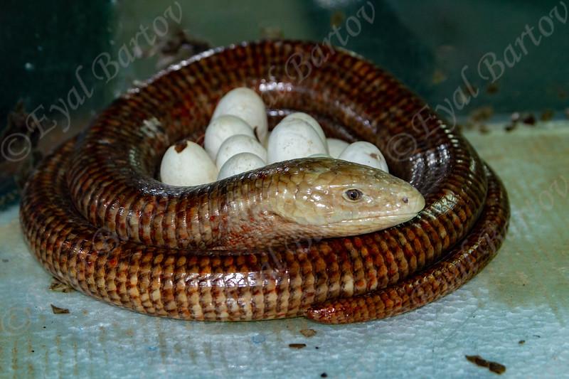 A female keeps her eggs Pallas's glass lizard  (Pseudopus apodus)