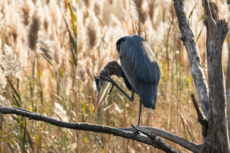 Great Blue Heron Fall 2019-3.jpg