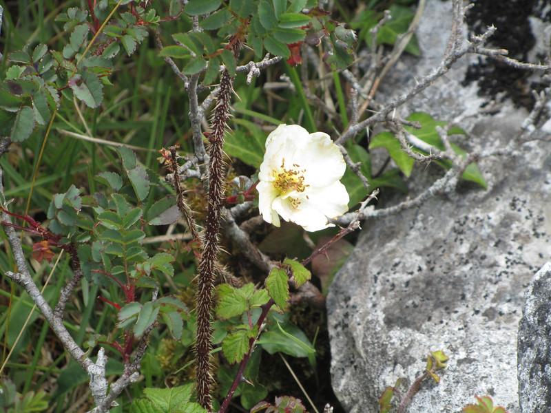 . . . a wild Irish rose . . .