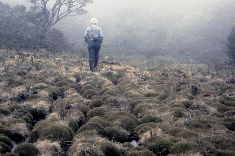 Oreobolus furcatus in montane bog, East Maui, Greensword Bog, August 1973; walking: Betsy H. Gagné.  Photo by Wayne Gagné. (photoID:bhg002006 & bhg002054)