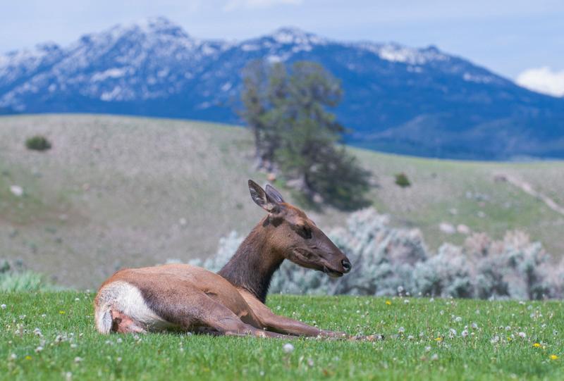 Yellowstone_Elk-8.jpg