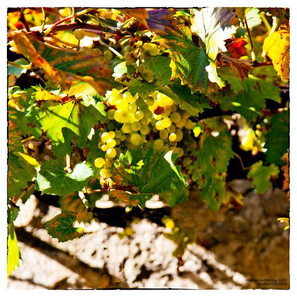 White Grapes, Southern France