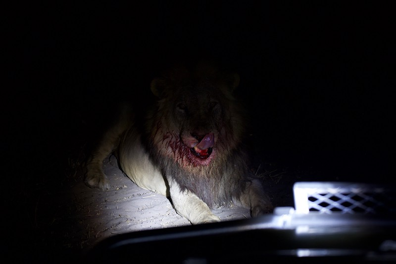 Lions and buffalo kill, Selinda Explorer camp, Botswana