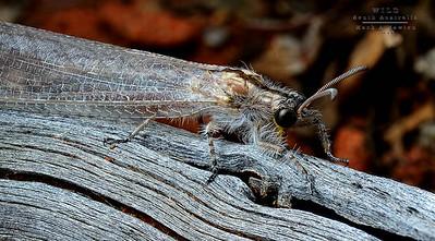 Antlions (Myrmeleontidae)