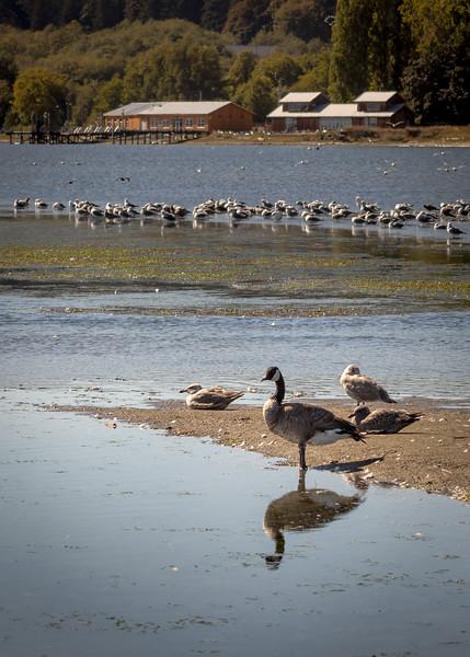 reflecting goose.jpg