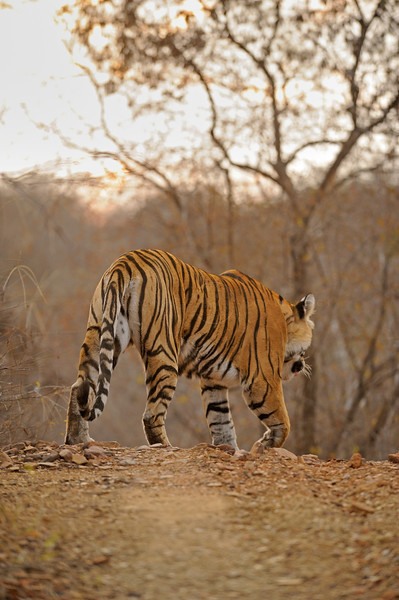 Tiger walking on a forest track on a cold winter morning in the dry deciduous habitat of Ranthambhore tiger reserve in India