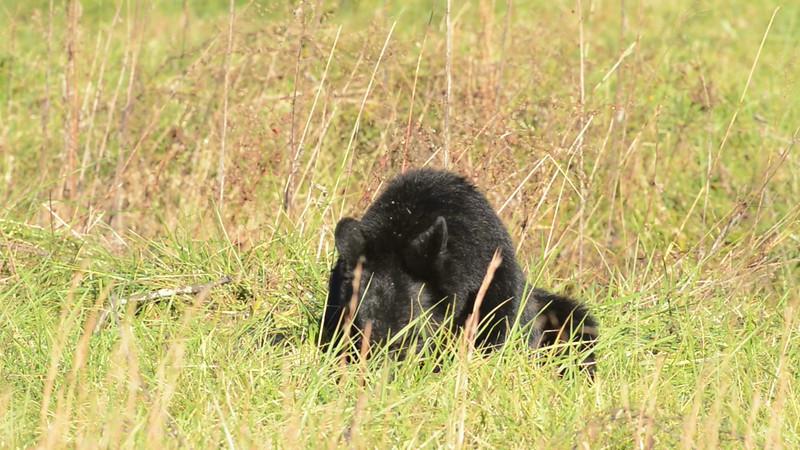 black_bear_01.mov