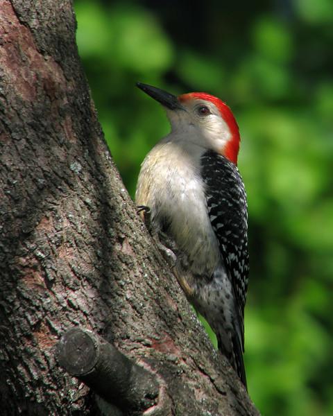 red_bellied_woodpecker_1272.jpg