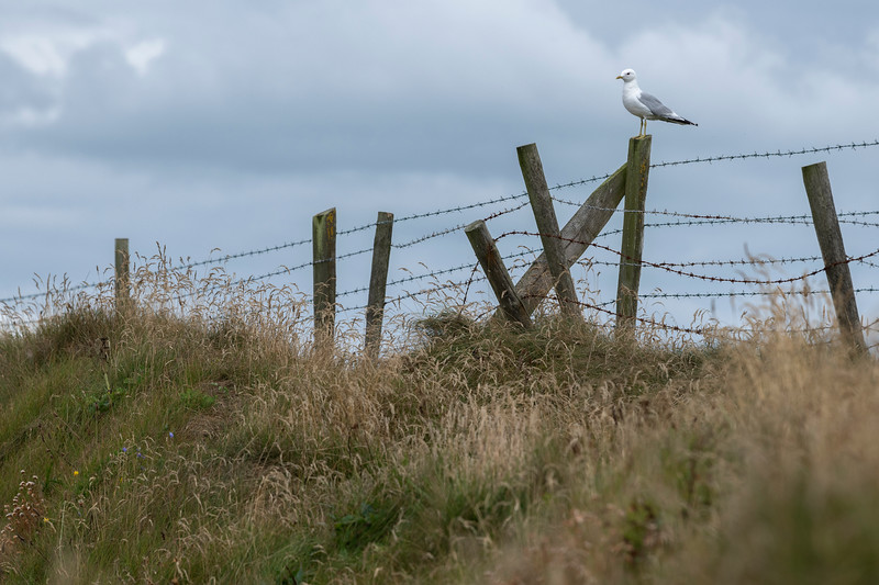 Seagull on wooden post, Portrush, County Atrium, Northern Ireland, Ireland