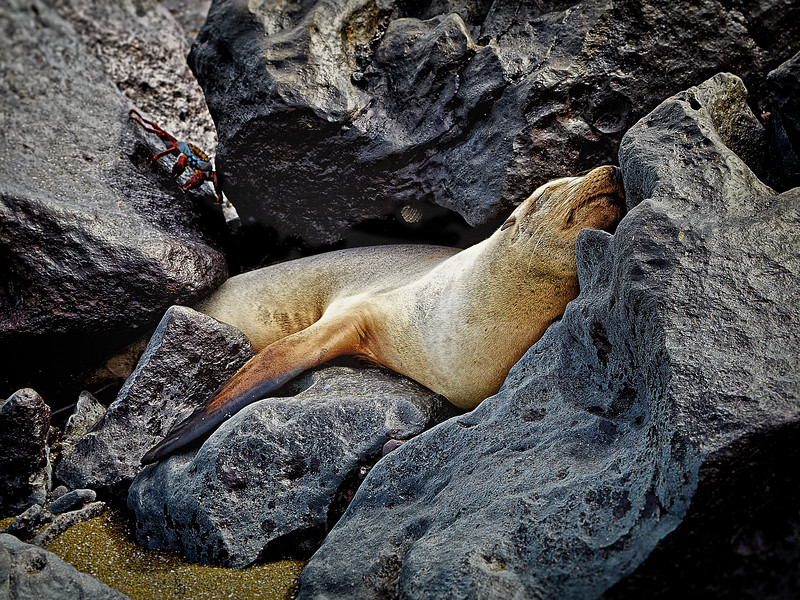 Napping seal on a boat ramp, Floreana island.