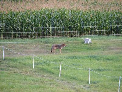 20070904 Coyote